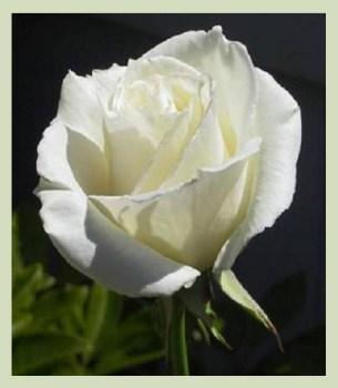 roseblanche1
