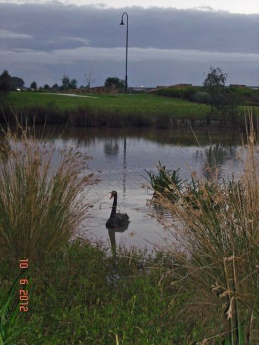 Doreen - Lone black swan glided effortlessly towards us on the pond.