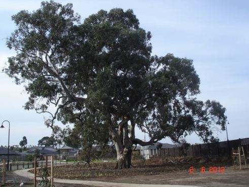 Ancient old river gum