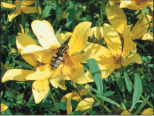 Syrphid