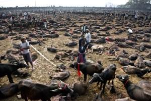 Supreme Court Orders To Stop Gadhimai Sacrifice - TexasNepal News