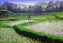 rice paddy
