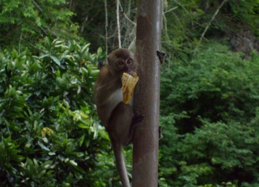 Macaque eating on a tree in Southern Thailand