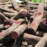 800 pieces of Siamese rosewood seized in Sa Kaeo