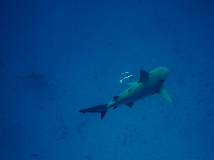Bull shark dive / Playa del Carmen
