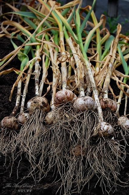 Heads Of Garlic