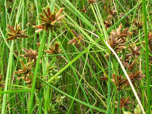 Nagarmotha herb