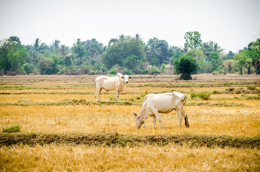 Two cows standing in a dried up rice field in the Battambang Province of Cambodia.