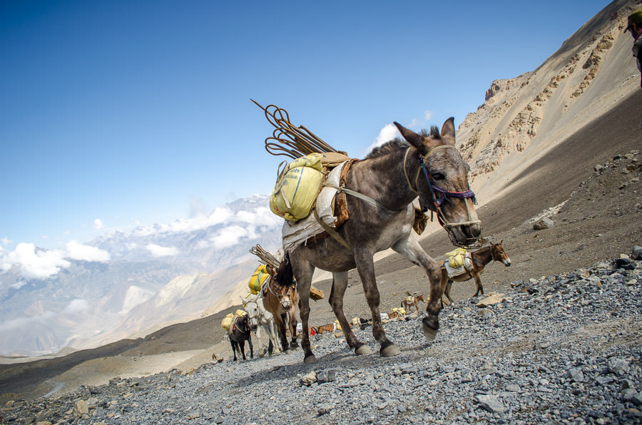Donkeys carrying loads of supplies up the mountain