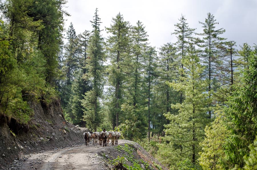 A herd of donkeys coming up the trail