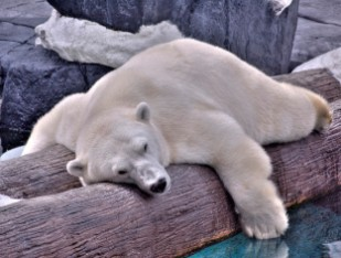 sleepingpolarbear