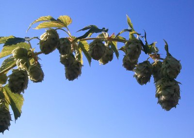 Hops fresh on the vine