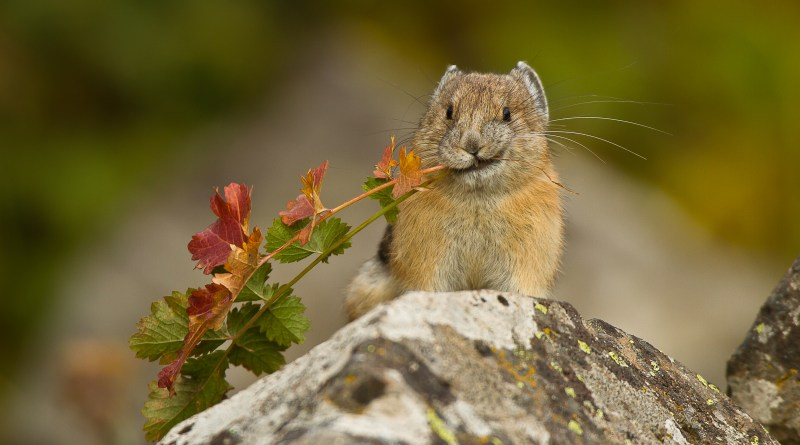 Revision-Break Animal of the Week: The Pika