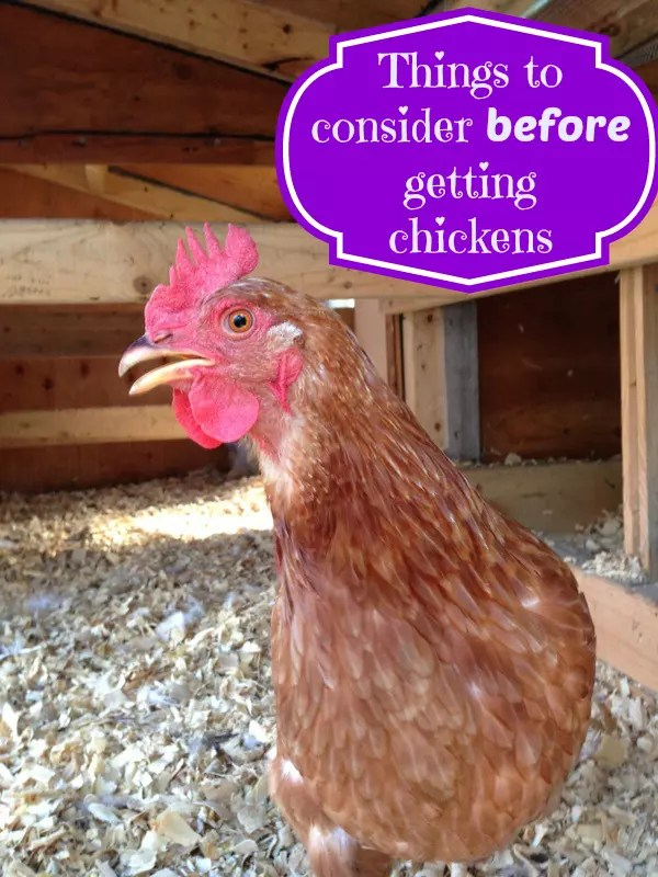 Things to Consider Before Getting Chickens