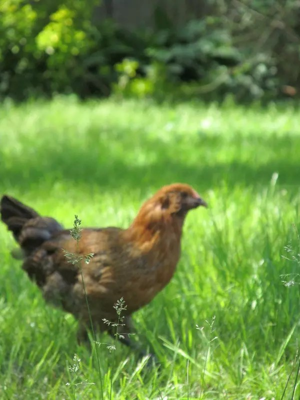 How much do chickens cost to keep?