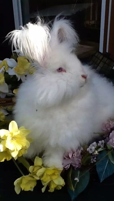What breed Angora rabbit is right for you?
