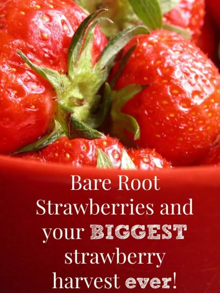 Intimidated by bare root strawberries? Don't be! They are an easy & inexpensive way to get to your biggest strawberry harvest ever!