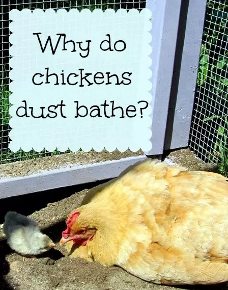 Why do chickens dust bathe? And why is it important for their health?