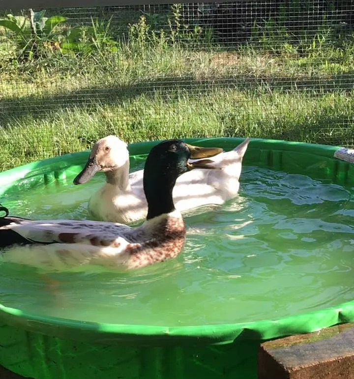 Do ducks need a pond duck pond ideas the cape coop for Keep ducks out of swimming pool
