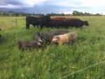 Organic pork being produced