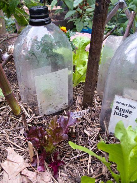 snail-proof-bottle-greenhouse-lettuce
