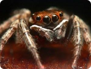 spider-multi-eyes.jpg