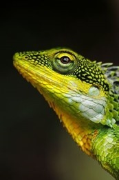 green-yellow-lizard8_thumb.jpg