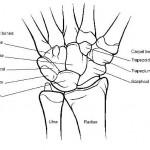 wrist-bones