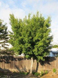 Our ginkgo tree, which we planted in our backyard after we got married nearly 15 years ago.