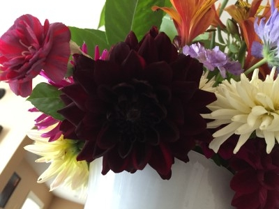One of my favorite dahlias - dark red cherry in color - only gave a few blooms before drying out.