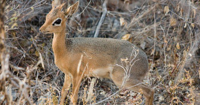 Dik Dik Facts