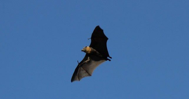 Flying Bat