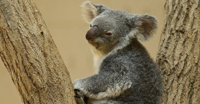 Koala Bear Facts
