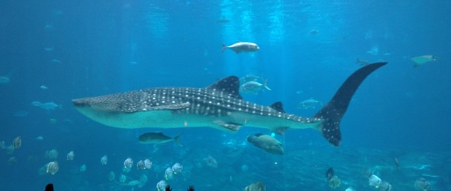 Whale sharks are huge!!!