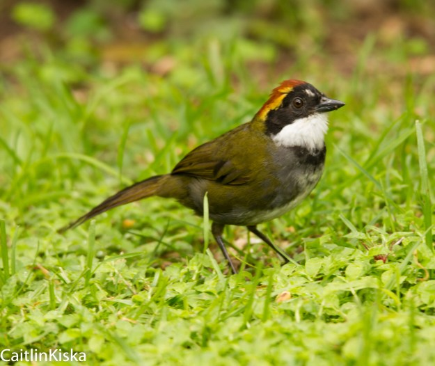 Panamanian Birds Chestnut Capped Brush Finch