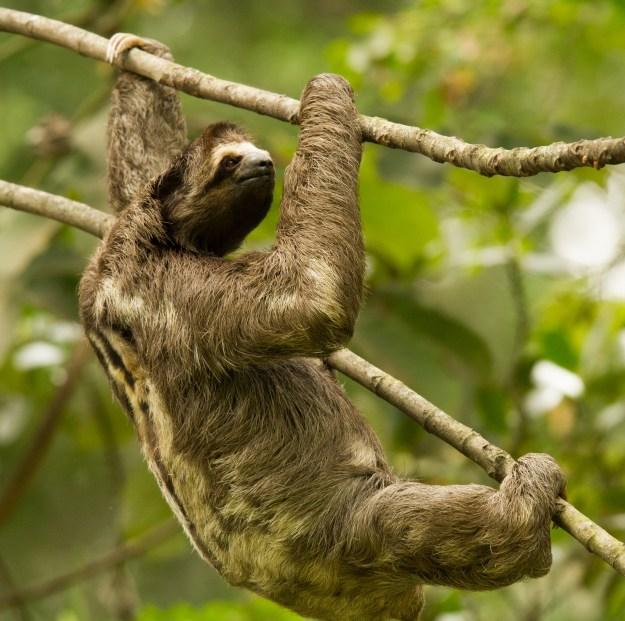 Sloth Floridablanca Botanical Garden
