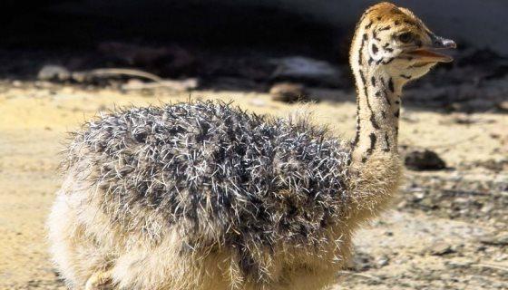 ONG denuncia: Prada usa couro de filhotes de avestruz para fazer seus produtos