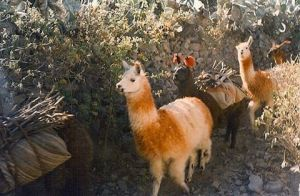 The coolest llama train I ever saw  Colca Canyonhellip