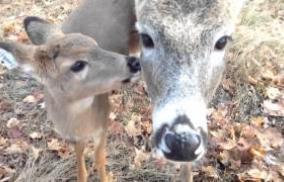 Reindeer Cam - watch Santa feed the reindeer via this live reindeer camera