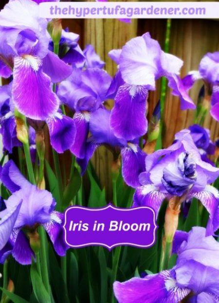 spring is an iris in bloom the hypertufa gardener. Black Bedroom Furniture Sets. Home Design Ideas