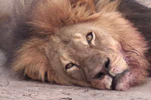 cecil-the-lion-2