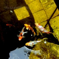 The pond story - Easy Tips for maintaning a Koi Pond