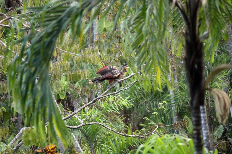 Peeking through the trees to a Hoatzin bird sitting on a branch.