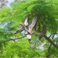 Delonix Regia, Gul Mohr Tree