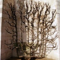 10 Amazing Examples of Espalier - Tree Art