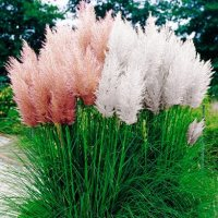 Cortaderia Selloana, the Pampas Grass