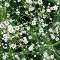Decorative Flowering Plant: Gypsophila, Baby's Breath