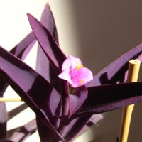 Wandering Jew: Colorful Ground Cover and Hanging Plant