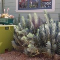 Unusual Plants and Forms of Agave Victoria Reginae
