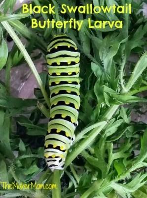 black swallowtail butterfly larva on carrot greens